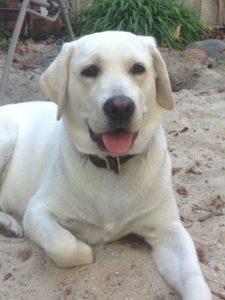 Harper foster dog 4-2016