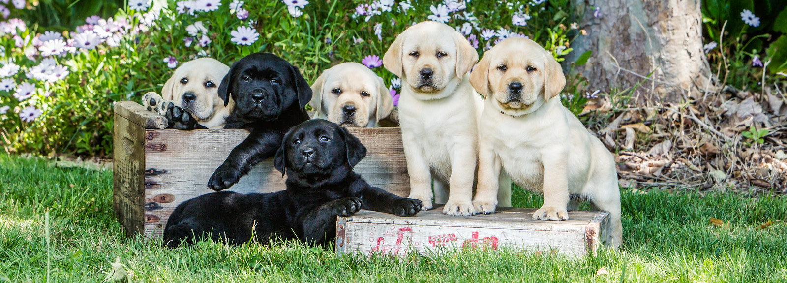 Kentfield Kennels – English Labrador Retriever Breeder in