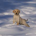 587242957-snow-puppies-free-wallpaper