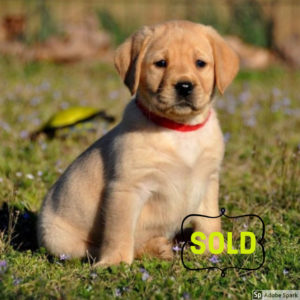 Sold Started Puppy