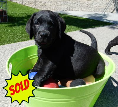 black sold pup