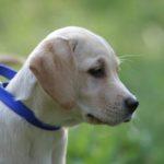 labrador-puppy-2-1395783