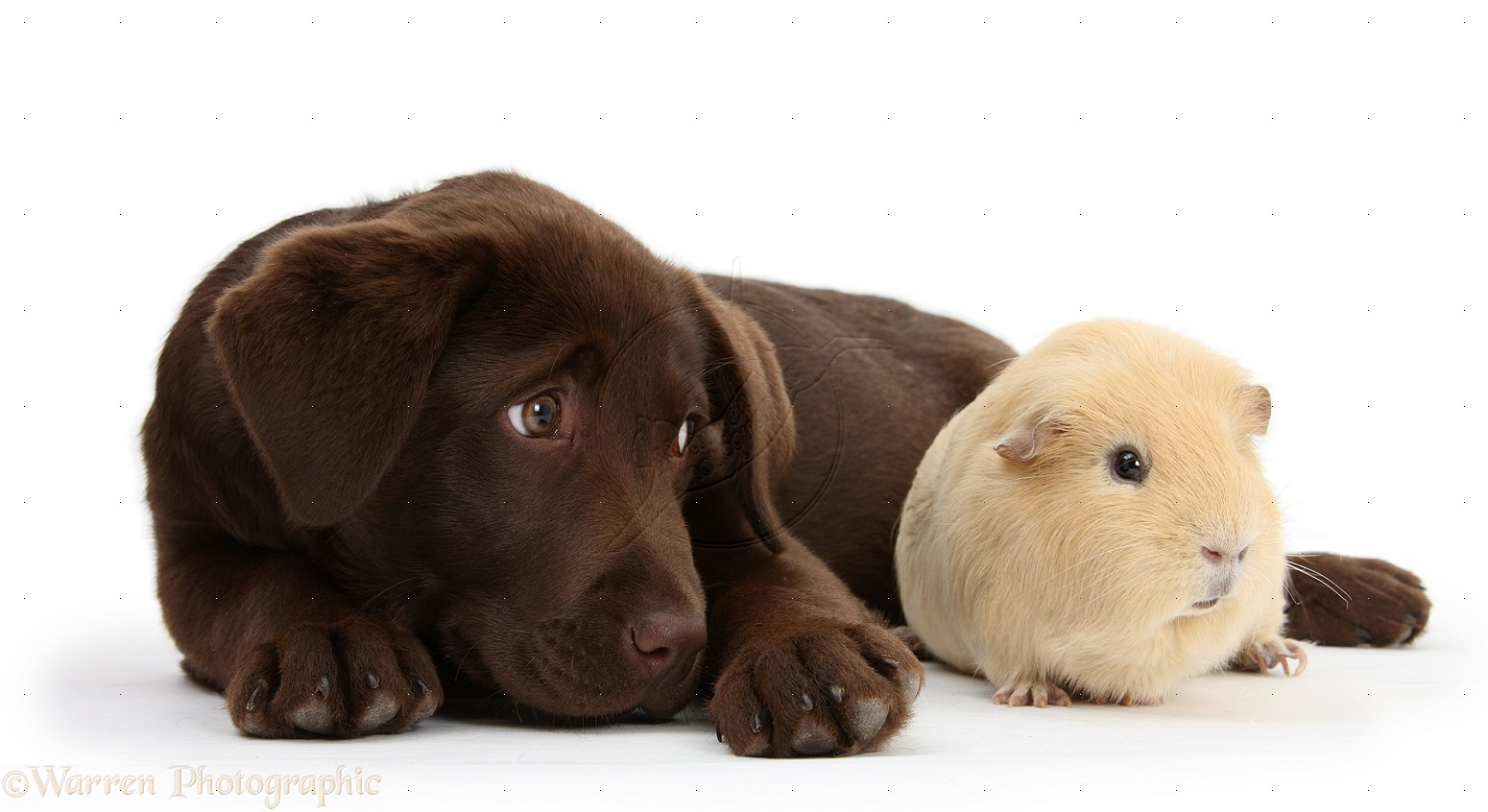 Chocolate Labrador pup, Lucie, 3 months old, with red Guinea pig