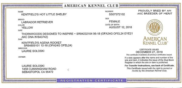 Kentfield's-Hot-little-Shelby-AKC-Registration-THUMB2